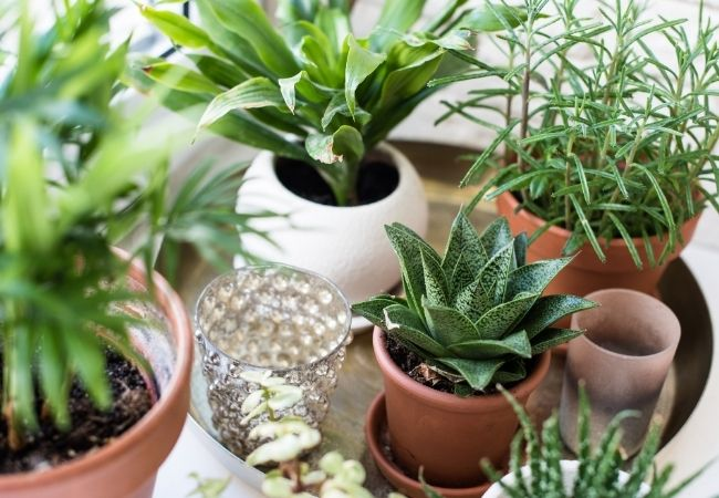 A variety of houseplants in pots on a tray