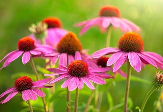 Echinacea plants for tea garden