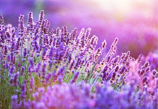 Lavender plants for a tea garden