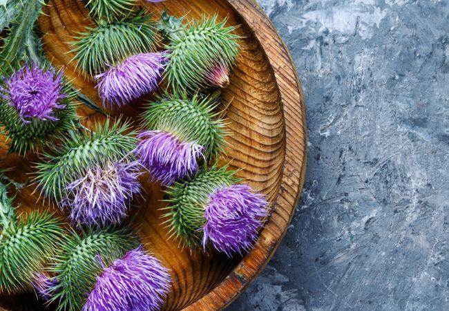 Milk thistle plants for tea garden