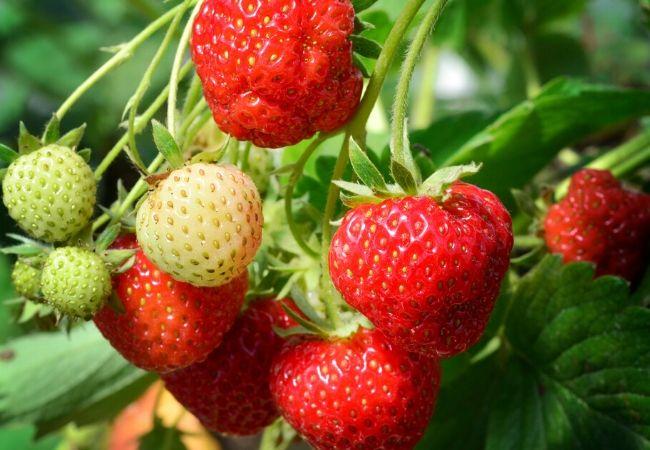 Strawberry plants for a tea garden