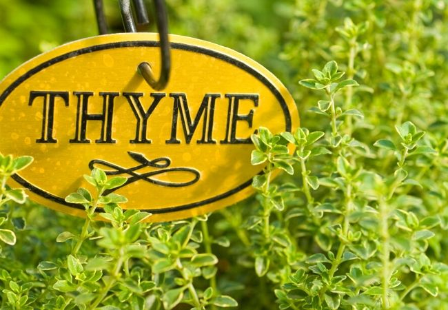 Thyme plants for the tea garden