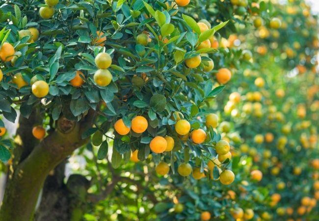 Orange trees - save money with free food