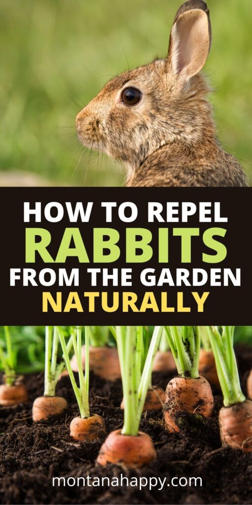 How to Repel Rabbits from your garden naturally pin for Pinterest.  Top photo is a wild rabbit and bottom photo is carrots in a garden.