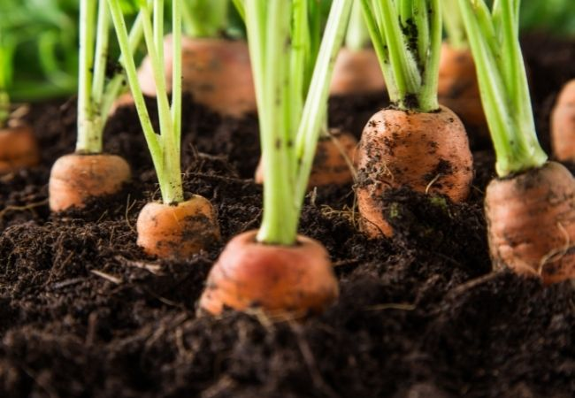 Natural Pest Control for Rabbits - Plant own garden - tops of carrots growing in the garden